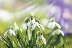 MLD Support Association UK snowdrop