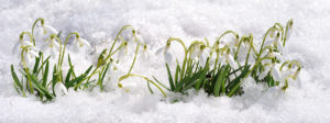 MLD Support Association UK, Snowdrop a symbol of hope