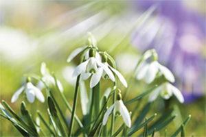 MLD Support Association UK Snowdrop Symbol of Hope