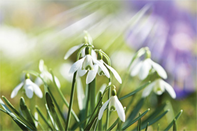 MLD Support Association UK Snowdrop Symbol of Hope